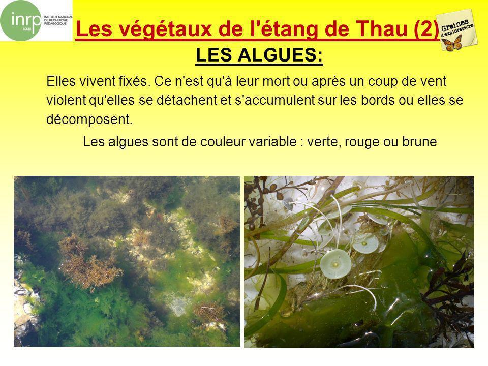 Les végétaux de l'étang de Thau (2) LES ALGUES: Elles vivent fixés. Ce n'est qu'à leur mort ou après un coup de vent violent qu'elles se détachent et