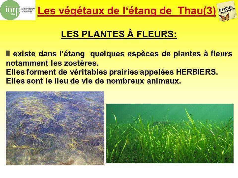 Les végétaux de létang de Thau(3) LES PLANTES À FLEURS: Il existe dans létang quelques espèces de plantes à fleurs notamment les zostères. Elles forme