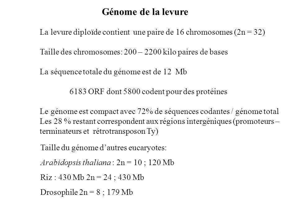 Génome de la levure La levure diploïde contient une paire de 16 chromosomes (2n = 32) Taille des chromosomes: 200 – 2200 kilo paires de bases La séque