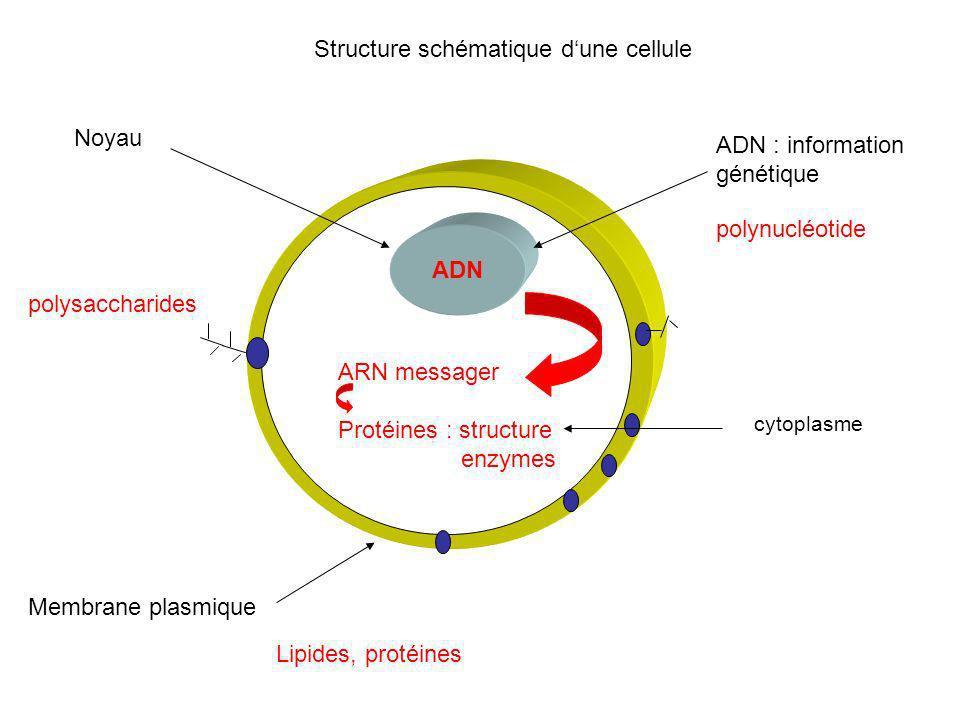 1.Nucléole 2.Noyau 3.Ribosome 4.Vésicule 5.Réticulum endoplasmique rugueux 6.