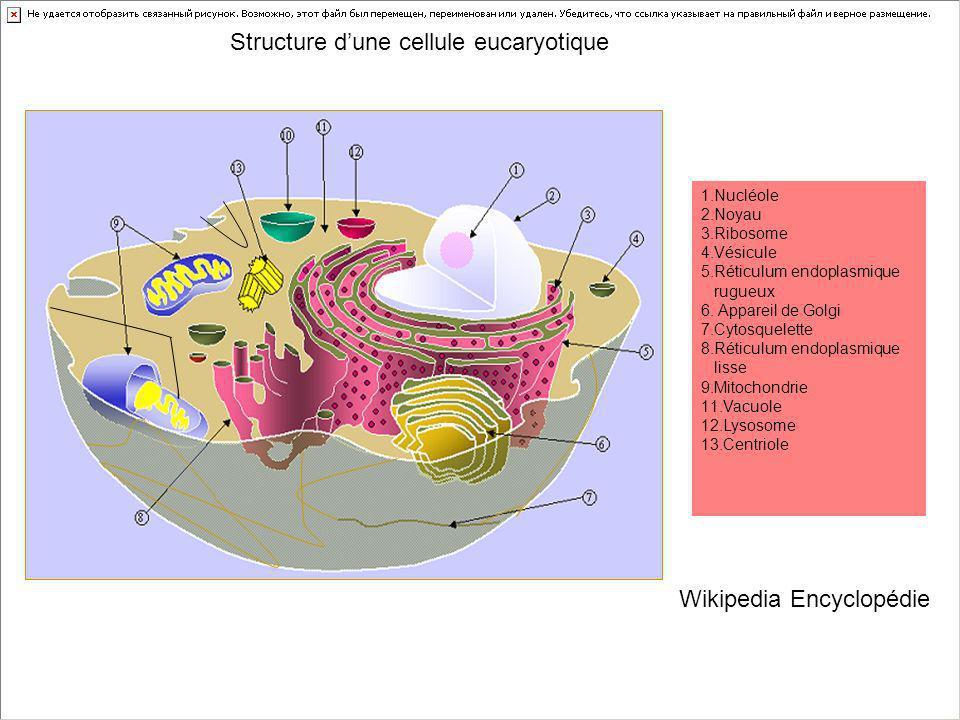 1.Nucléole 2.Noyau 3.Ribosome 4.Vésicule 5.Réticulum endoplasmique rugueux 6. Appareil de Golgi 7.Cytosquelette 8.Réticulum endoplasmique lisse 9.Mito