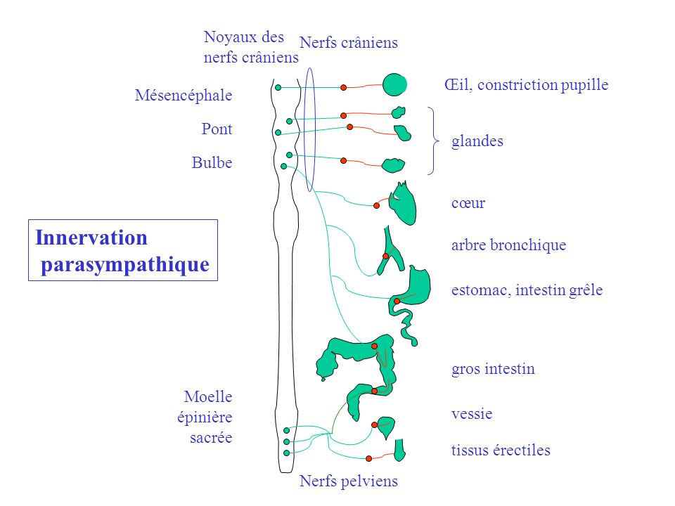 Innervation parasympathique Mésencéphale Pont Bulbe Moelle épinière sacrée Nerfs crâniens Noyaux des nerfs crâniens Nerfs pelviens glandes cœur arbre