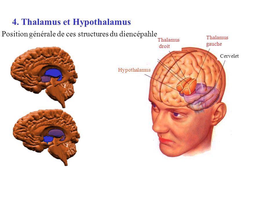 Thalamus droit Thalamus gauche Cervelet Hypothalamus 4. Thalamus et Hypothalamus Position générale de ces structures du diencépahle