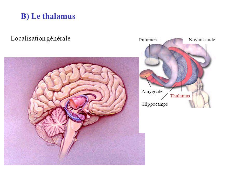 B) Le thalamus Amygdale Thalamus Hippocampe Noyau caudéPutamen Localisation générale