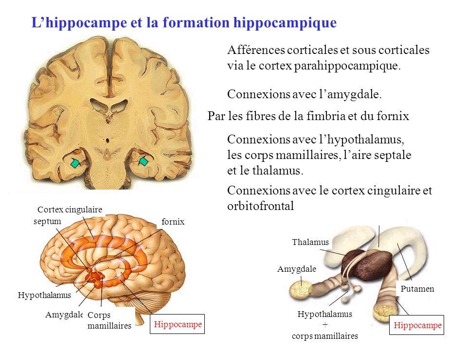 Lhippocampe et la formation hippocampique Hippocampe septum Cortex cingulaire fornix Hypothalamus Amygdale Corps mamillaires Thalamus Putamen Hypothal