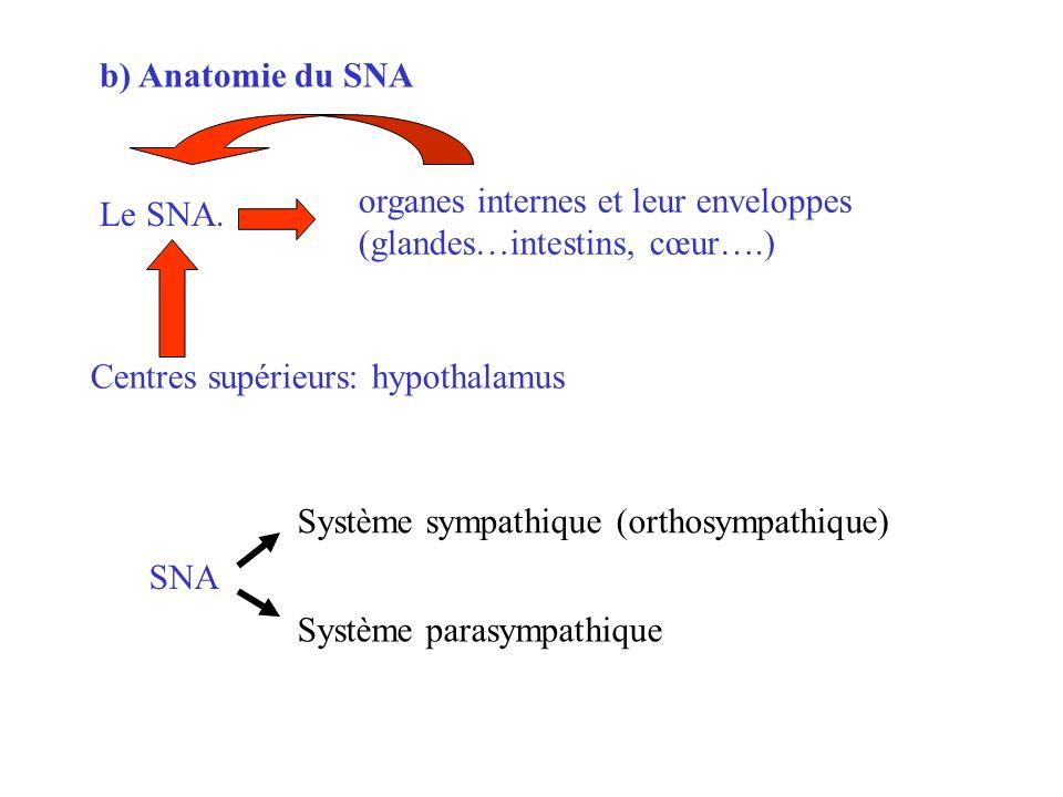 b) Anatomie du SNA Centres supérieurs: hypothalamus Le SNA. organes internes et leur enveloppes (glandes…intestins, cœur….) SNA Système sympathique (o