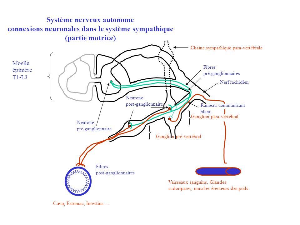 Moelle épinière T1-L3 Fibres pré-ganglionnaires Neurone post-ganglionnaire Ganglion para-vertébral Ganglion pré-vertébral Chaîne sympathique para-vert