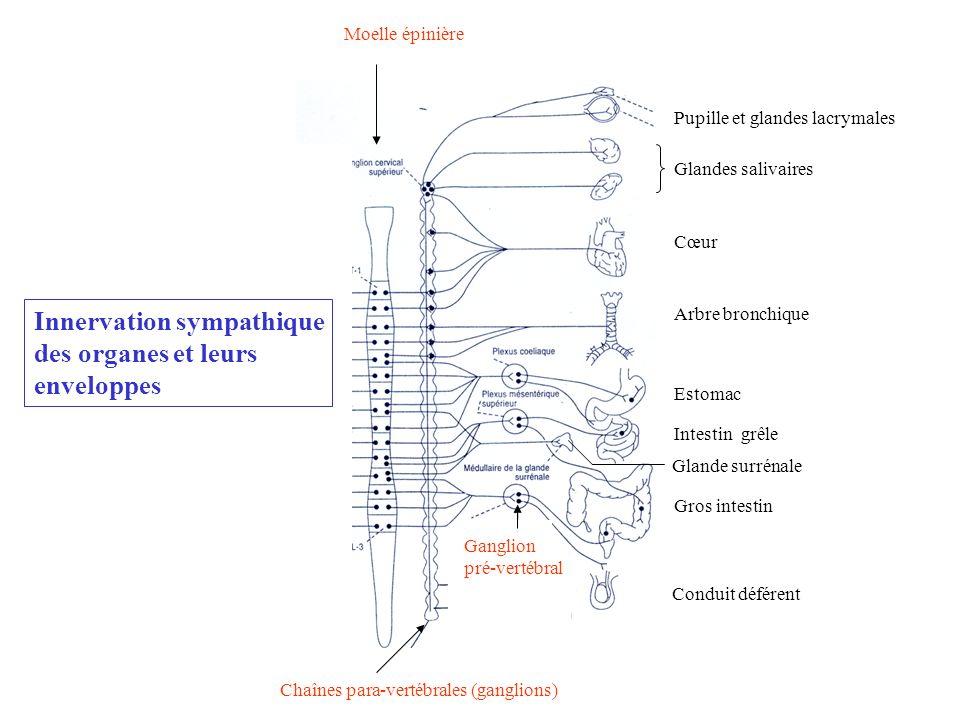 Vaisseaux sanguins muscles érecteurs des poils glandes sudoripares Moelle épinière Chaînes para-vertébrales (ganglions) Ganglion pré-vertébral Pupille
