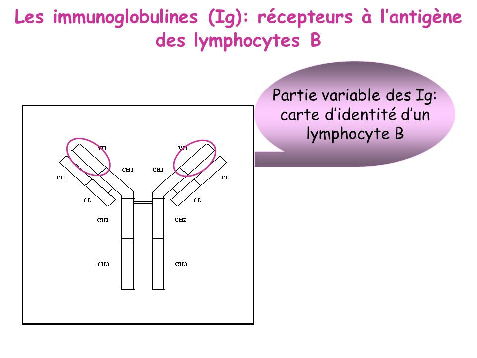 Les immunoglobulines (Ig): récepteurs à lantigène des lymphocytes B Partie variable des Ig: carte didentité dun lymphocyte B