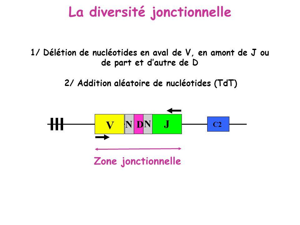 La diversité jonctionnelle V N J C2 Zone jonctionnelle N D 1/ Délétion de nucléotides en aval de V, en amont de J ou de part et dautre de D 2/ Additio