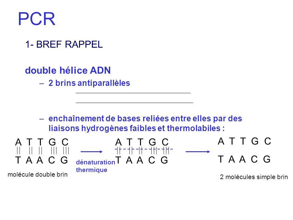 PCR 1- BREF RAPPEL double hélice ADN –2 brins antiparallèles –enchaînement de bases reliées entre elles par des liaisons hydrogènes faibles et thermol