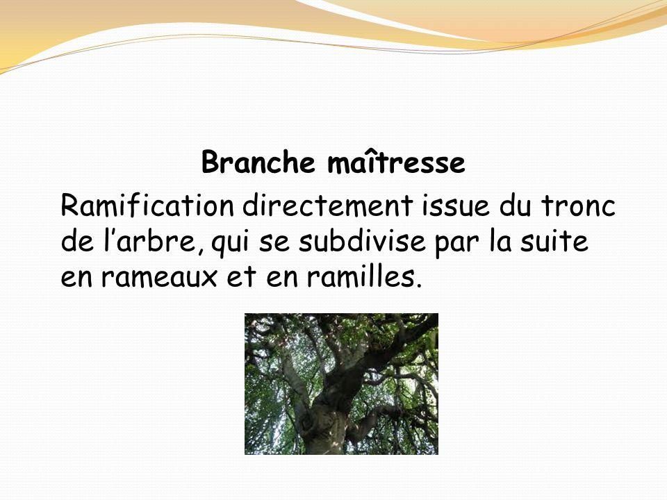 Branche maîtresse Ramification directement issue du tronc de larbre, qui se subdivise par la suite en rameaux et en ramilles.