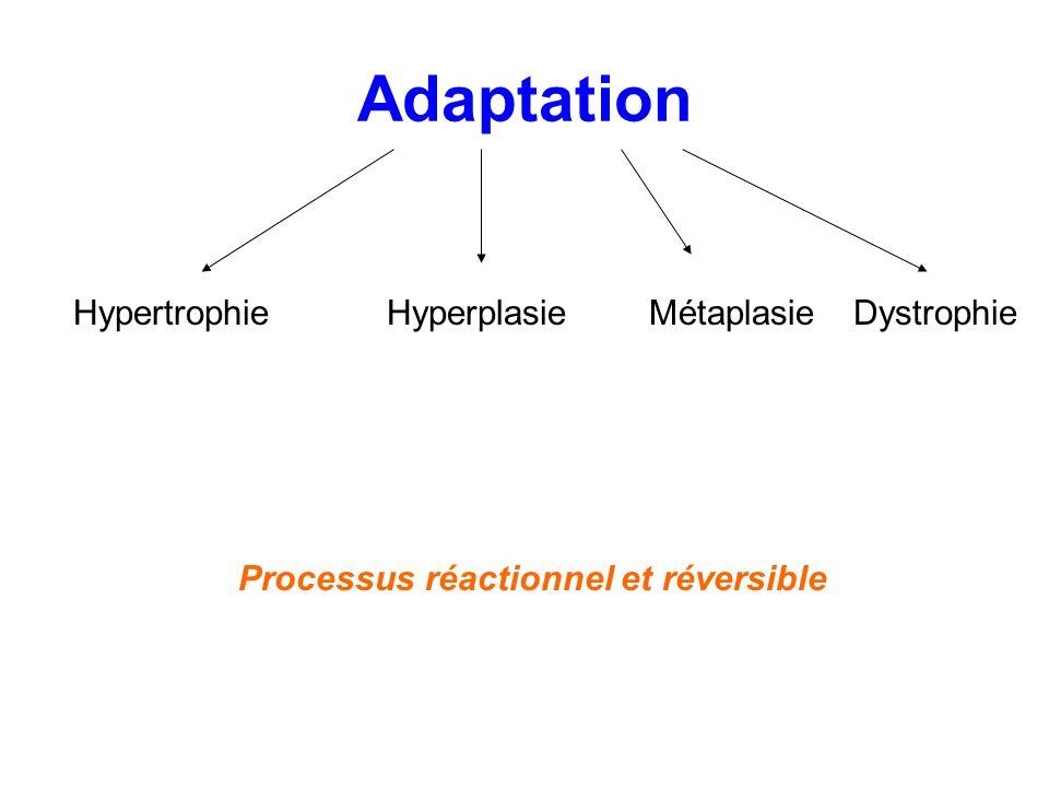 Hypertrophie Augmentation taille de la cellule, du volume dun tissu ou dun organe Hyperplasie Augmentation du nombre de cellules dun tissu ou dun organe Hyperactivité cellulaire, stimulation +++