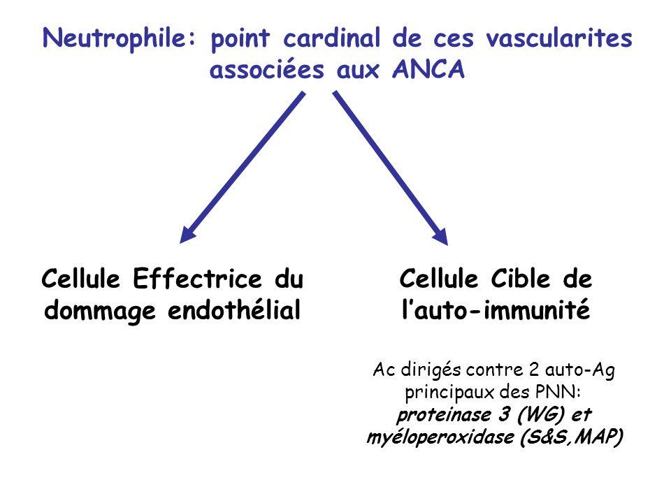 Neutrophile: point cardinal de ces vascularites associées aux ANCA Cellule Effectrice du dommage endothélial Cellule Cible de lauto-immunité Ac dirigé