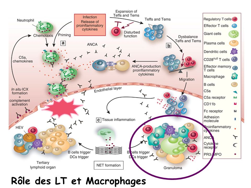Rôle des LT et Macrophages