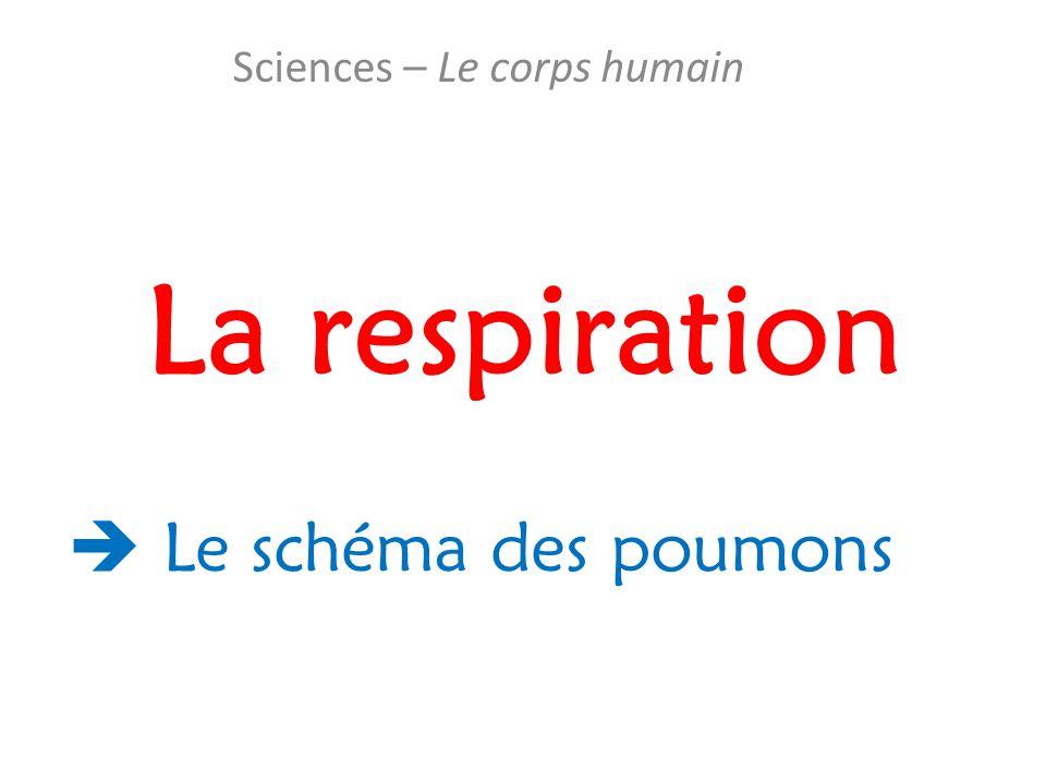 La respiration Sciences – Le corps humain  Le schéma des poumons