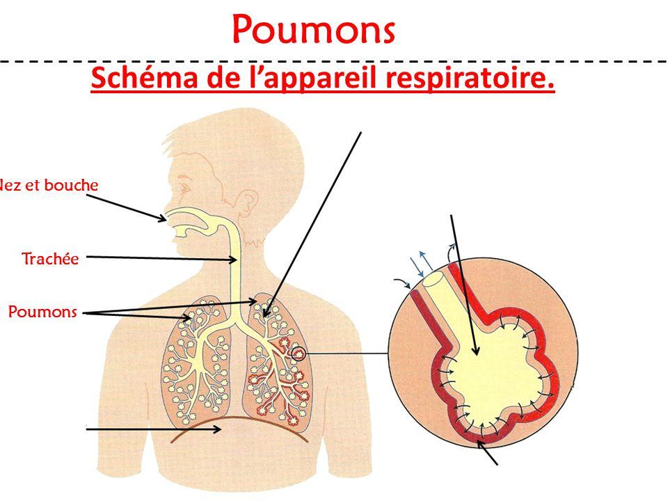 Schéma de l'appareil respiratoire. Nez et bouche Poumons Trachée Poumons