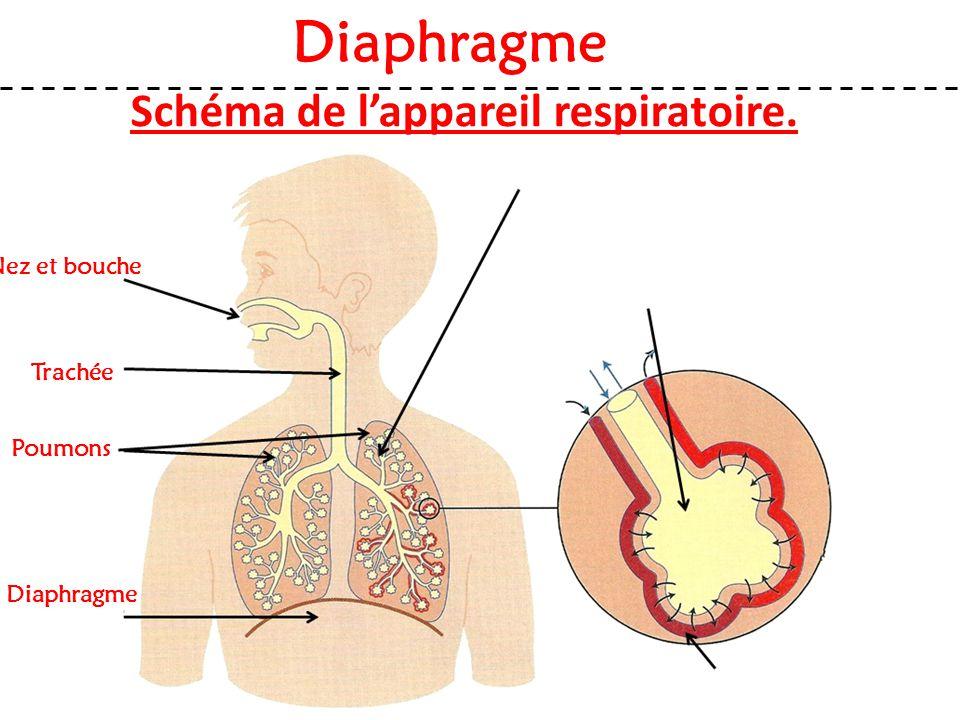 Schéma de l'appareil respiratoire. Nez et bouche Diaphragme Trachée Poumons Diaphragme