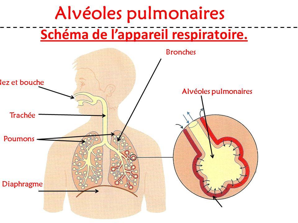 Schéma de l'appareil respiratoire. Nez et bouche Alvéoles pulmonaires Trachée Poumons Diaphragme Bronches Alvéoles pulmonaires