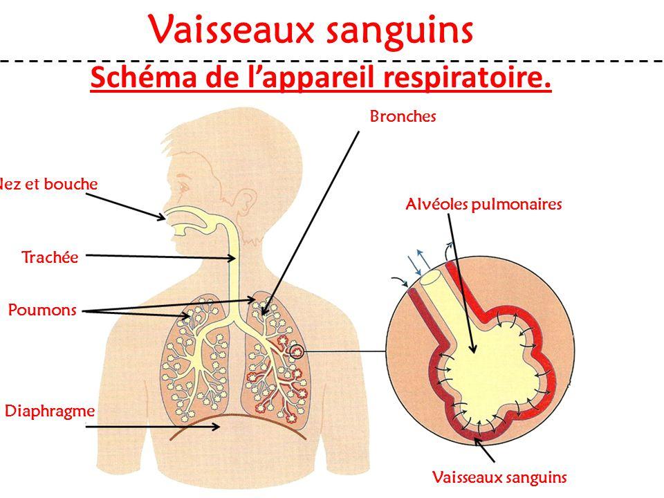 Schéma de l'appareil respiratoire. Nez et bouche Vaisseaux sanguins Trachée Poumons Diaphragme Bronches Alvéoles pulmonaires Vaisseaux sanguins
