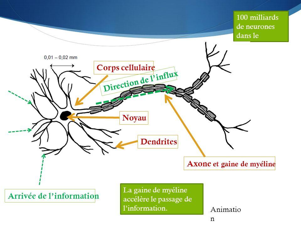 100 milliards de neurones dans le cerveau Corps cellulaire Noyau Dendrites Axone et gaine de myéline Arrivée de l'information Direction de l'influx An