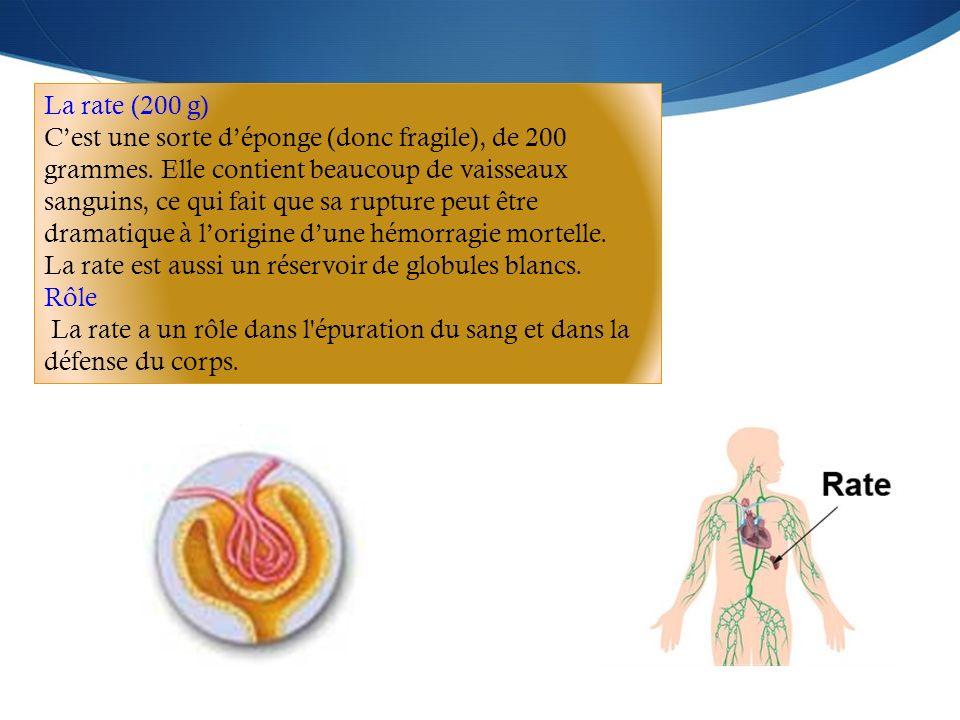 La rate (200 g) C'est une sorte d'éponge (donc fragile), de 200 grammes. Elle contient beaucoup de vaisseaux sanguins, ce qui fait que sa rupture peut