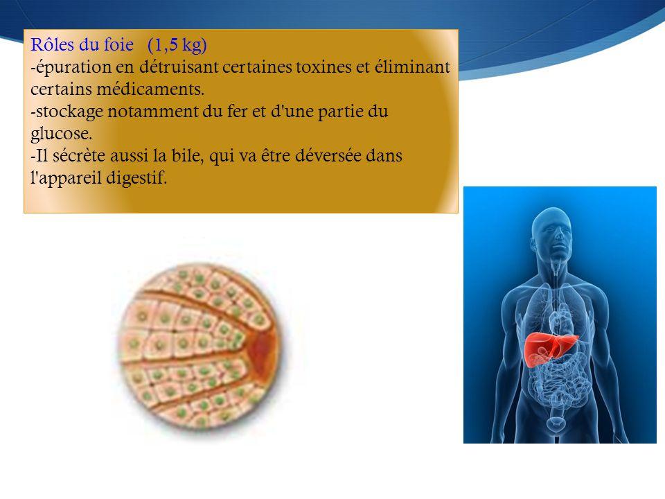 Rôles du foie (1,5 kg) -épuration en détruisant certaines toxines et éliminant certains médicaments. -stockage notamment du fer et d'une partie du glu