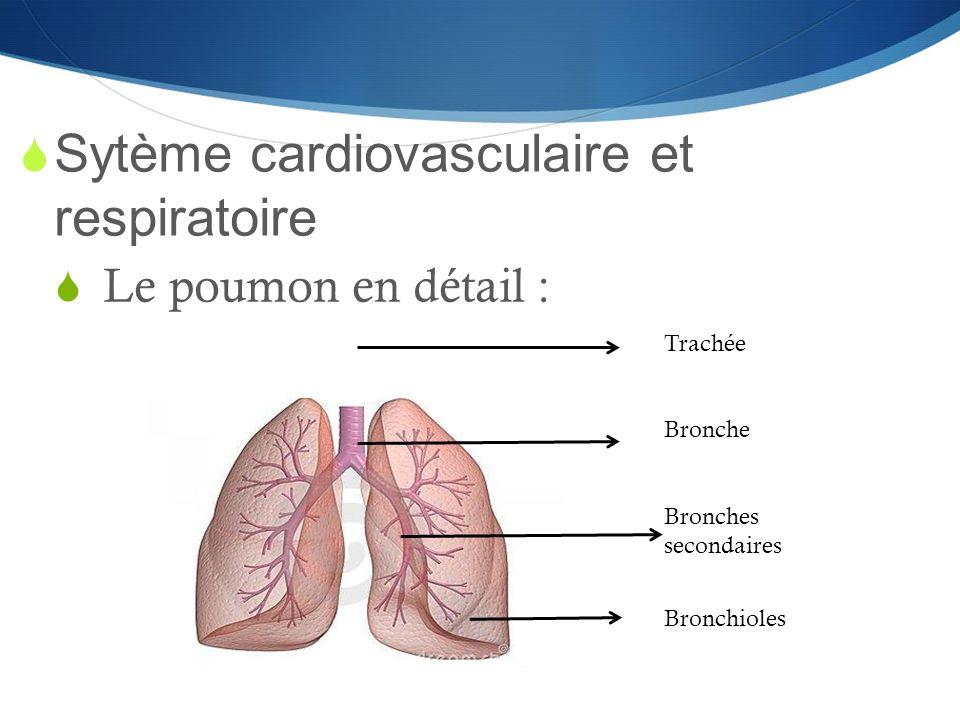  Sytème cardiovasculaire et respiratoire  Le poumon en détail : Trachée Bronche Bronches secondaires Bronchioles
