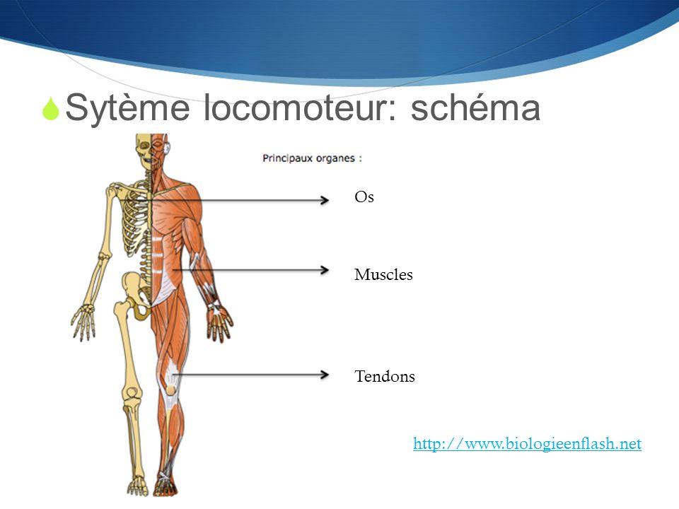  Sytème locomoteur: schéma Os Muscles Tendons http://www.biologieenflash.net