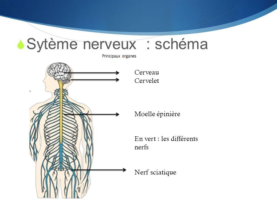  Sytème nerveux : schéma Cerveau Cervelet Moelle épinière En vert : les différents nerfs Nerf sciatique