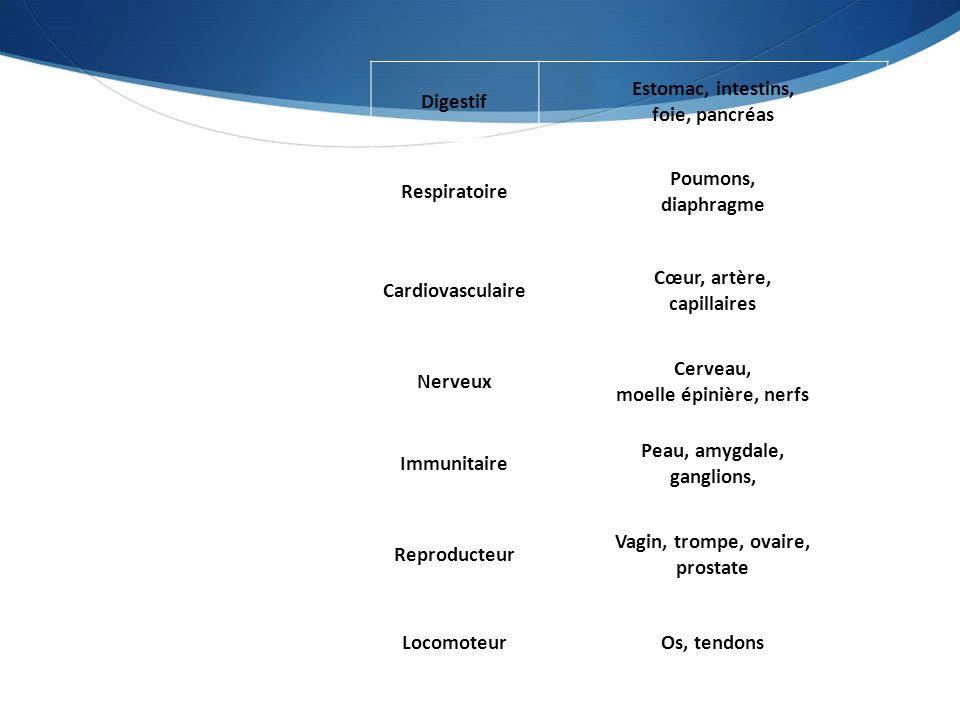 Digestif Estomac, intestins, foie, pancréas Respiratoire Poumons, diaphragme Cardiovasculaire Cœur, artère, capillaires Nerveux Cerveau, moelle épiniè