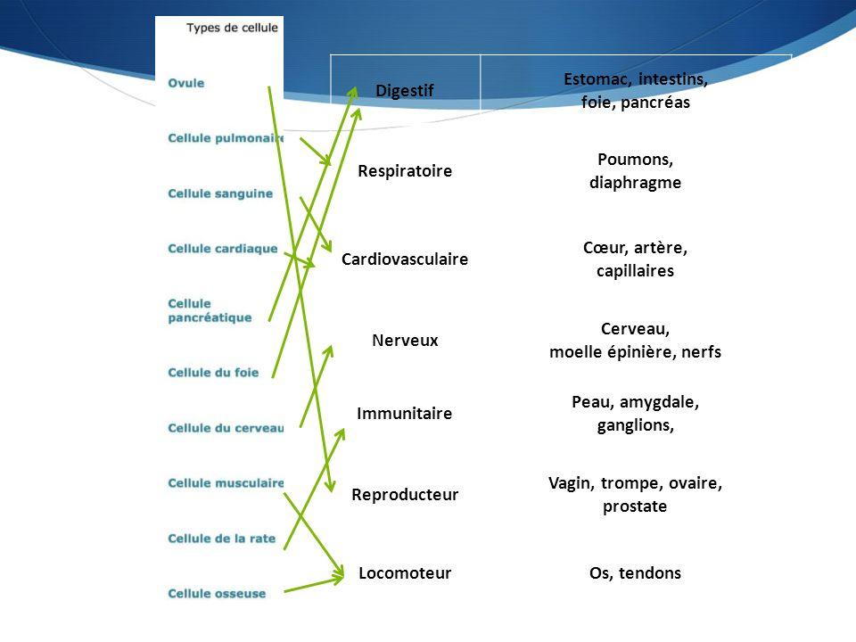 Digestif Estomac, intestins, foie, pancréas Respiratoire Poumons, diaphragme Cardiovasculaire Cœur, artère, capillaires Nerveux Cerveau, moelle épinière, nerfs Immunitaire Peau, amygdale, ganglions, Reproducteur Vagin, trompe, ovaire, prostate LocomoteurOs, tendons