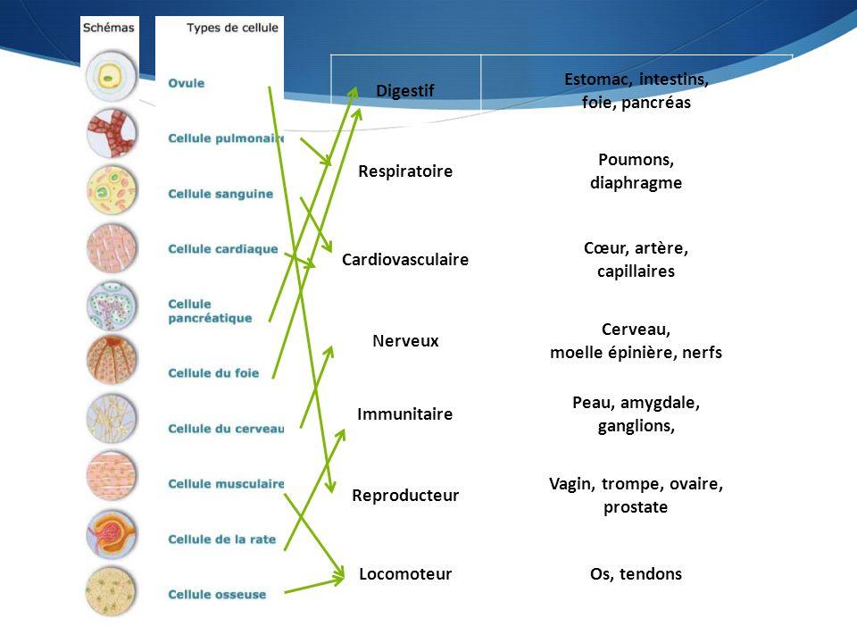  Rôle : Achemine les défenses du corps humain, contribue à la production de certains globules blancs et favorise la protection contre la maladie en produisant des anticorps.