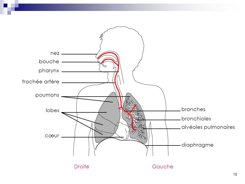 10 nez bouche pharynx trachée artère poumons lobes cœur bronches bronchioles alvéoles pulmonaires diaphragme DroiteGauche