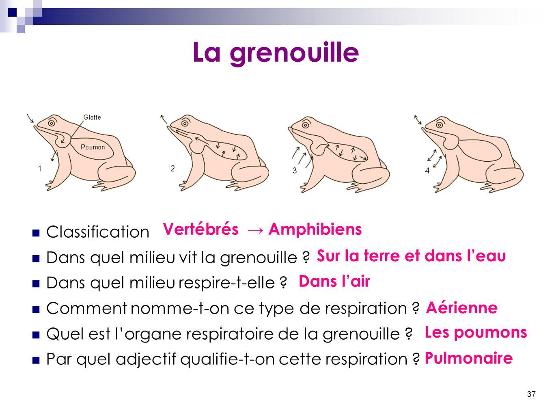 37 La grenouille Classification Dans quel milieu vit la grenouille ? Dans quel milieu respire-t-elle ? Comment nomme-t-on ce type de respiration ? Que