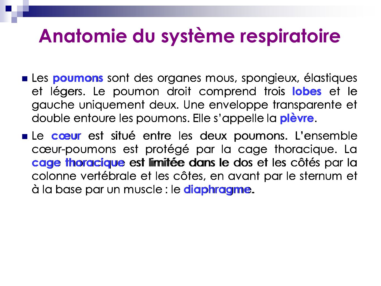 Anatomie du système respiratoire Les poumons sont des organes mous, spongieux, élastiques et légers. Le poumon droit comprend trois lobes et le gauche