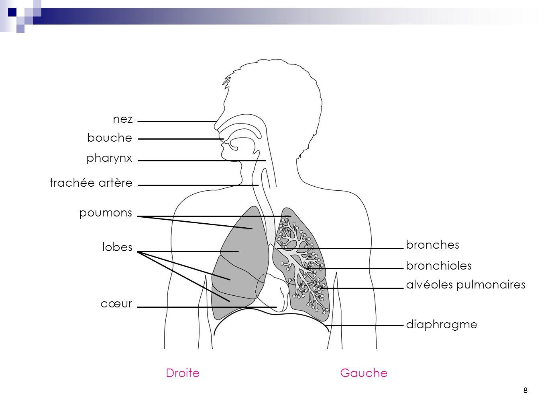 8 nez bouche pharynx trachée artère poumons lobes cœur bronches bronchioles alvéoles pulmonaires diaphragme DroiteGauche