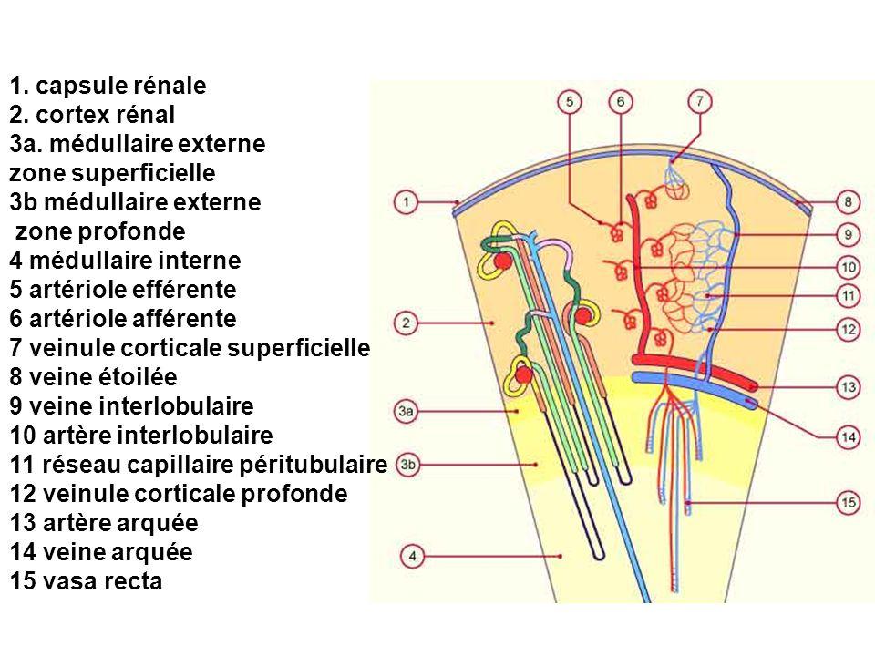1. capsule rénale 2. cortex rénal 3a. médullaire externe zone superficielle 3b médullaire externe zone profonde 4 médullaire interne 5 artériole effér