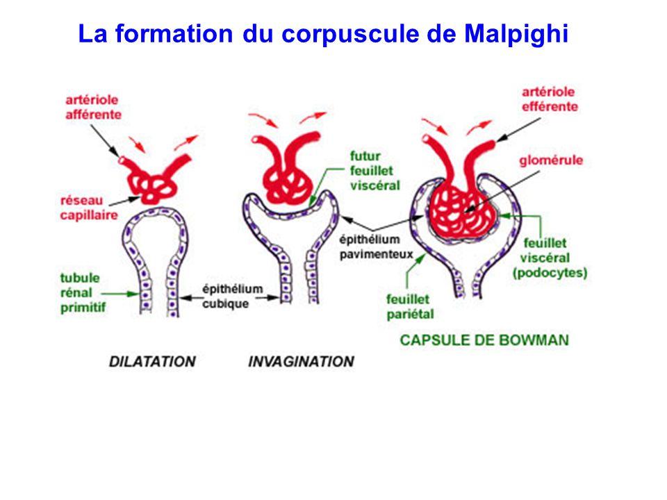 La formation du corpuscule de Malpighi