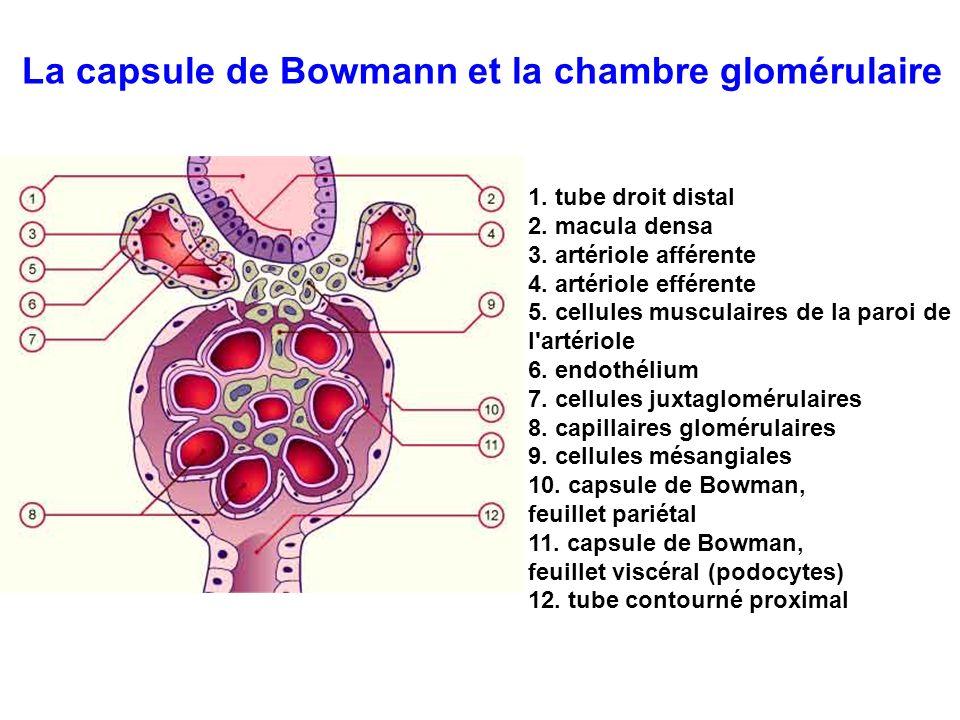 1. tube droit distal 2. macula densa 3. artériole afférente 4. artériole efférente 5. cellules musculaires de la paroi de l'artériole 6. endothélium 7