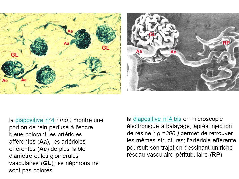 la diapositive n°4 ( mg ) montre une portion de rein perfusé à l'encre bleue colorant les artérioles afférentes (Aa), les artérioles efférentes (Ae) d