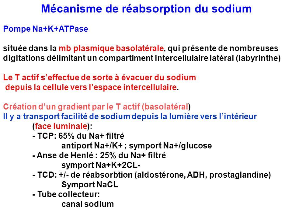 Mécanisme de réabsorption du sodium Pompe Na+K+ATPase située dans la mb plasmique basolatérale, qui présente de nombreuses digitations délimitant un c