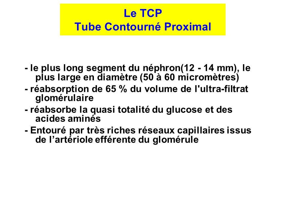 Le TCP Tube Contourné Proximal - le plus long segment du néphron(12 - 14 mm), le plus large en diamètre (50 à 60 micromètres) - réabsorption de 65 % d