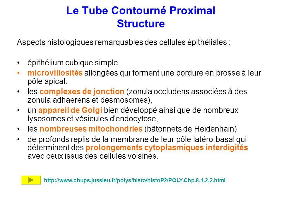 Le Tube Contourné Proximal Structure Aspects histologiques remarquables des cellules épithéliales : épithélium cubique simple microvillosités allongée