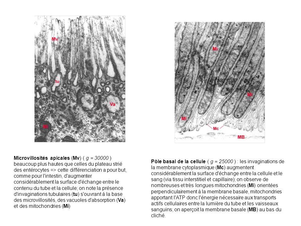 Microvillosités apicales (Mv) ( g = 30000 ) beaucoup plus hautes que celles du plateau strié des entérocytes => cette différenciation a pour but, comm