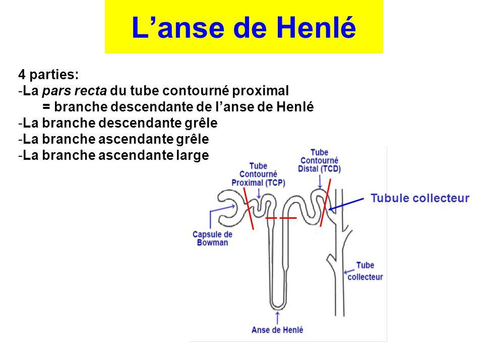 Tubule collecteur 4 parties: -La pars recta du tube contourné proximal = branche descendante de l'anse de Henlé -La branche descendante grêle -La bran