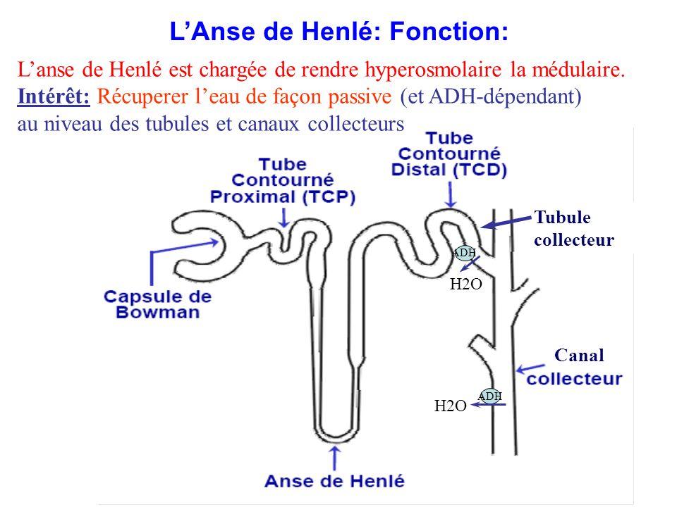 Canal Tubule collecteur ADH H2O ADH H2O L'Anse de Henlé: Fonction: L'anse de Henlé est chargée de rendre hyperosmolaire la médulaire. Intérêt: Récuper
