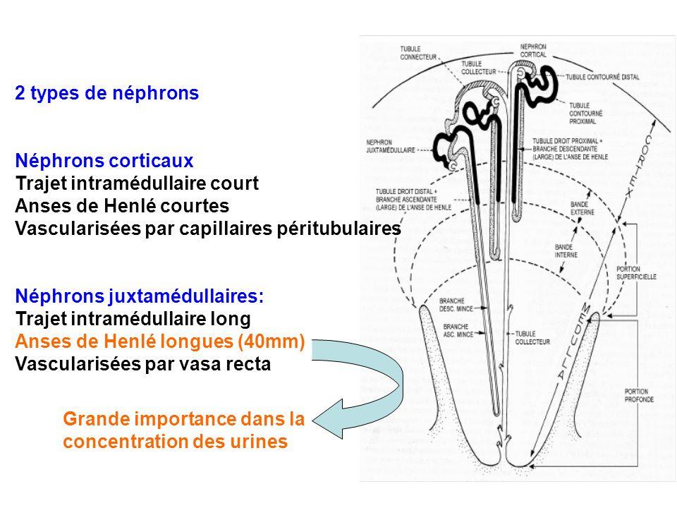 2 types de néphrons Néphrons corticaux Trajet intramédullaire court Anses de Henlé courtes Vascularisées par capillaires péritubulaires Néphrons juxta