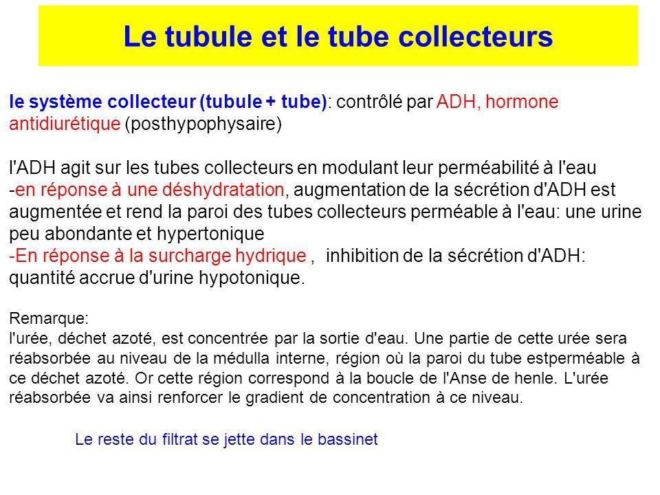 le système collecteur (tubule + tube): contrôlé par ADH, hormone antidiurétique (posthypophysaire) l'ADH agit sur les tubes collecteurs en modulant le