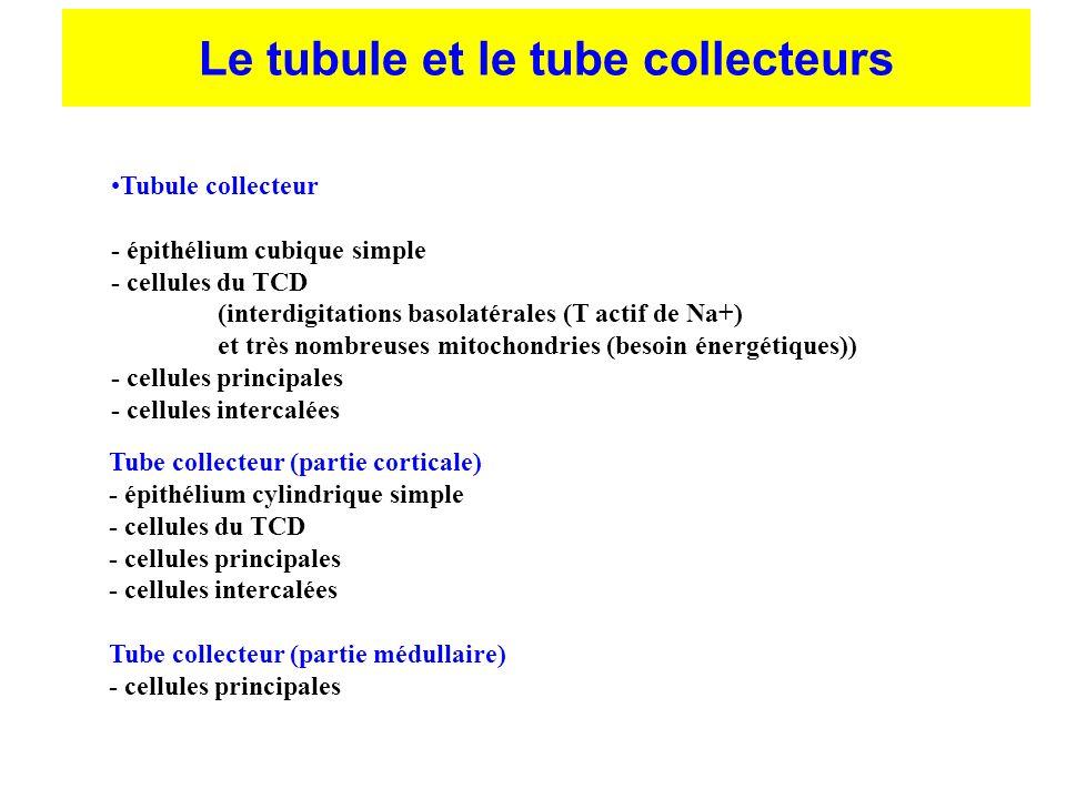 Tube collecteur (partie corticale) - épithélium cylindrique simple - cellules du TCD - cellules principales - cellules intercalées Tube collecteur (pa
